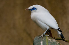 Bali starling Stock Photography