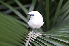 Bali starling (Leucopsar rothschildi). Also known as Bali myna -  is one of the rarest birds in the world Royalty Free Stock Images