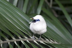 Bali starling (Leucopsar rothschildi). Also known as Bali myna -  is one of the rarest birds in the world Royalty Free Stock Photo