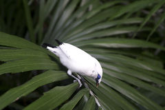 Bali starling (Leucopsar rothschildi). Also known as Bali myna -  is one of the rarest birds in the world Stock Photography