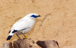 Bali Starling (Leucopsar rothschildi) bird Royalty Free Stock Photos