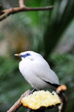 Bali Starling and the pipeapple. Bali Starling eating with the pipeapple Royalty Free Stock Image