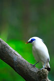 Bali Starling on Tree Stock Photography