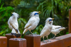 Bali Starlings Stock Afbeelding