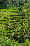 Bali step fields Royalty Free Stock Photos