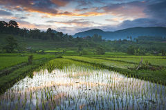 Bali Sunrise in the Rice Fields. Royalty Free Stock Image