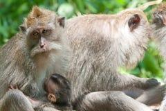 bali tailed långa macaques ubud Royaltyfri Fotografi