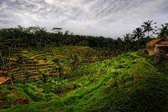Bali - Tegalalang Rice Terraces Stock Photo