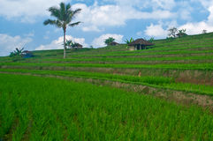 Bali Terrace Field Royalty Free Stock Photography