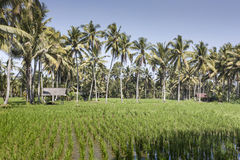 Bali terrace rice fields with palm trees behind. Stock Photo
