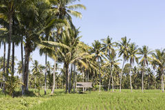 Bali terrace rice fields with palm trees behind. Stock Photos
