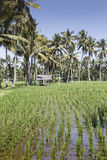 Bali terrace rice fields with palm trees behind. Royalty Free Stock Image