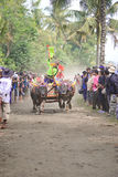 Bali Traditional Cow Race Stock Images