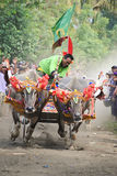 Bali Traditional Cow Race. The traditional buffalo racing events Bali - Indonesia, Routine held every year in Jembrana District, Bali Royalty Free Stock Photo