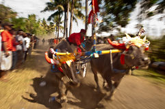 Bali Traditional Cow Race. Motion blur photo of traditional buffalo racing events Bali - Indonesia, Routine held every year in Jembrana District, Bali Stock Image