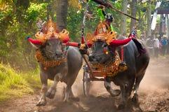 Bali Traditional Cow Race Stock Image