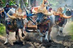 Bali Traditional Cow Race stock photos