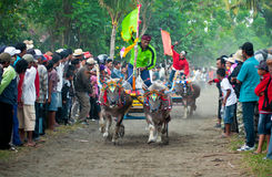 Bali Traditional Cow Race. Photo of traditional buffalo racing events Bali - Indonesia, Routine held every year in Jembrana District, Bali Royalty Free Stock Photo