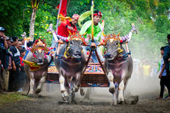 Bali Traditional Cow Race Royalty Free Stock Photos