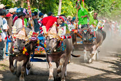 Bali Traditional Cow Race. Photo of traditional buffalo racing events Bali - Indonesia, Routine held every year in Jembrana District, Bali Stock Photos