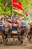 Bali Traditional Cow Race Stock Image