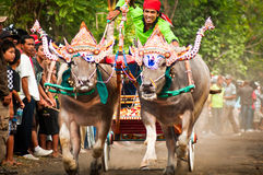 Bali Traditional Cow Race Stock Photography