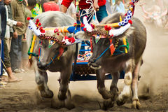 Bali Traditional Cow Race. Photo of traditional buffalo racing events Bali - Indonesia, Routine held every year in Jembrana District, Bali Stock Image