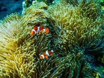 Bali Tulamben dno morskie Clownfish zdjęcie royalty free