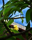 Yellow frangipani blossoms in a greenery with soft blue background royalty free stock photos