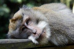 balijczyków makaki Obrazy Royalty Free