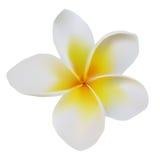 Balijczyka kwiatu frangipani Fotografia Royalty Free
