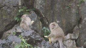 Balijczyka makaka małpy samiec i Żeński bawić się, jedzący, skaczący, drapający zbiory wideo