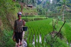 Balijczyka niezidentyfikowanych kobiet ryżowe średniorolne pozy podczas ranku pracy blisko Ubud, Bali, Indonezja, 09 08 2018 obraz royalty free