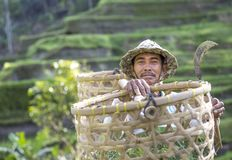 Balijczyka ryżowy śródpolny pracownik na ryżu polu Zdjęcie Royalty Free