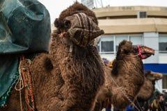 Balikesir, Karesi -土耳其- 2015年3月01日:骆驼在Karesi C 库存照片