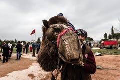 Balikesir, Karesi -土耳其- 2015年3月01日:骆驼在Karesi C 免版税库存照片
