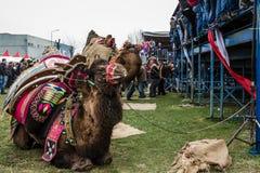 01, 2015: Balikesir Karesi, Turcja, Marzec - Wielbłądy w Karesi C Zdjęcie Stock