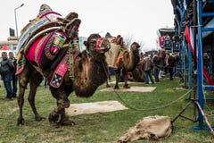 01, 2015: Balikesir Karesi, Turcja, Marzec - Wielbłądy w Karesi C Obrazy Royalty Free