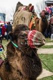 01, 2015: Balikesir Karesi, Turcja, Marzec - Wielbłądy w Karesi C Zdjęcia Stock
