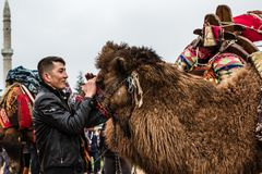 01, 2015: Balikesir Karesi, Turcja, Marzec - Wielbłądy w Karesi C Fotografia Stock