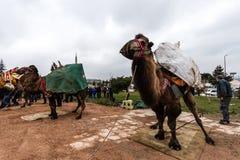 01, 2015: Balikesir Karesi, Turcja, Marzec - Wielbłądy w Karesi C Obraz Royalty Free