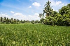 Balinees padieveld stock fotografie