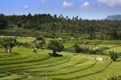 Balinees padieveldlandschap met palmen op de achtergrond en blauwe hemel met weinig wolken Royalty-vrije Stock Fotografie