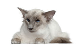 Balinese, 1 year old, lying in front of white Royalty Free Stock Photography