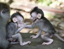 Balinese aap Stock Afbeeldingen