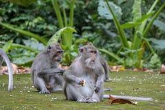 Balinese aap met lange staart bij het Bos van de Aaptempel, Ubud stock foto