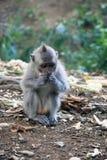 Balinese-Affe, der Lebensmittel isst Stockfotografie