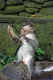 Balinese-Affe, der mit Banane spielt Stockbild
