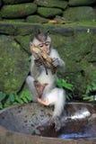 Balinese-Affe, der mit Banane spielt Stockbilder