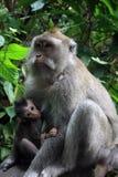 Balinese-Affe mit Kind Lizenzfreies Stockbild